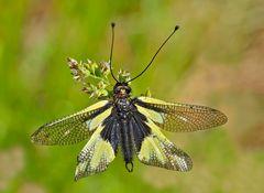 Libellen-Schmetterlingshaft (Libelloides coccajus), frisch geschlüpft. - Ascalaphe soufré.