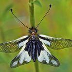 Libellen-Schmetterlingshaft (Libelloides coccajus), Weibchen.