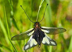 Libellen-Schmetterlingshaft, Männchen (Libelloides coccajus). - L'Ascalaphe soufré.