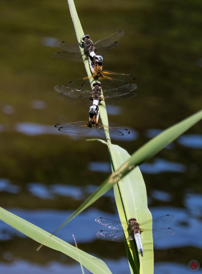 Libellen-Traube