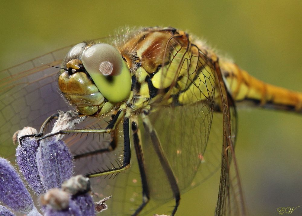 Libellen-Wetter...