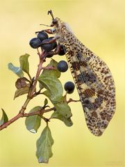 Libellenähnliche Ameisenjungfer