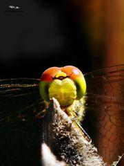Libellenaugen vor dunklem HG (1 von 1)