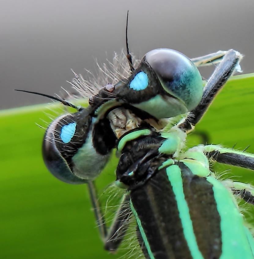Libellendetail Kopf und Brust