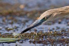 Libellenfang, Rallenreiher / Squacco heron