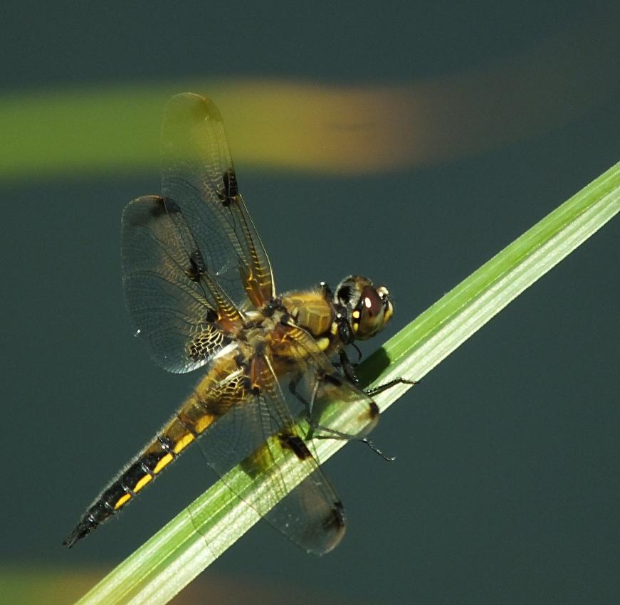 Libellenfieber 1