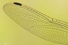 Libellenflügel im Detail