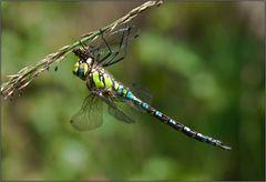 libellenfraß