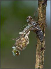 libellengeburt   #1