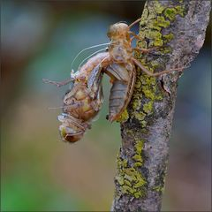 libellengeburt