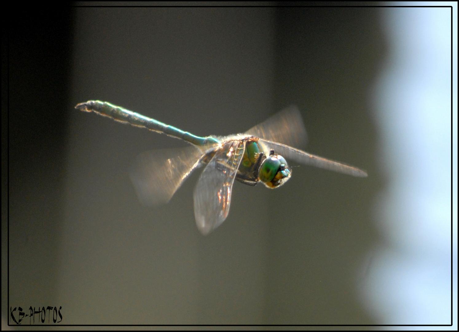 Libellenjagd - gar nicht so einfach :-)