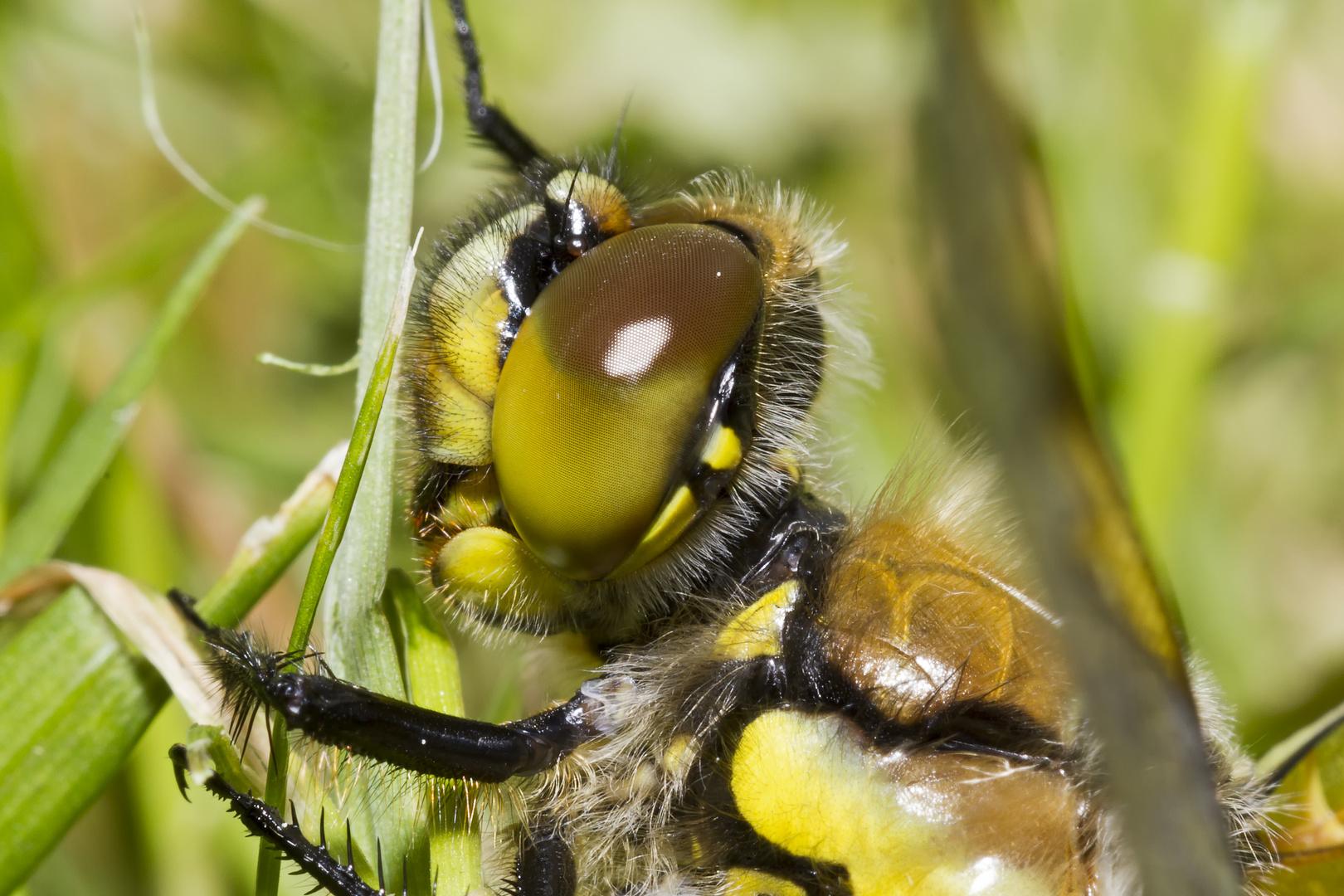 Libellenkopf