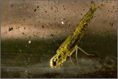 libellenlarve #2