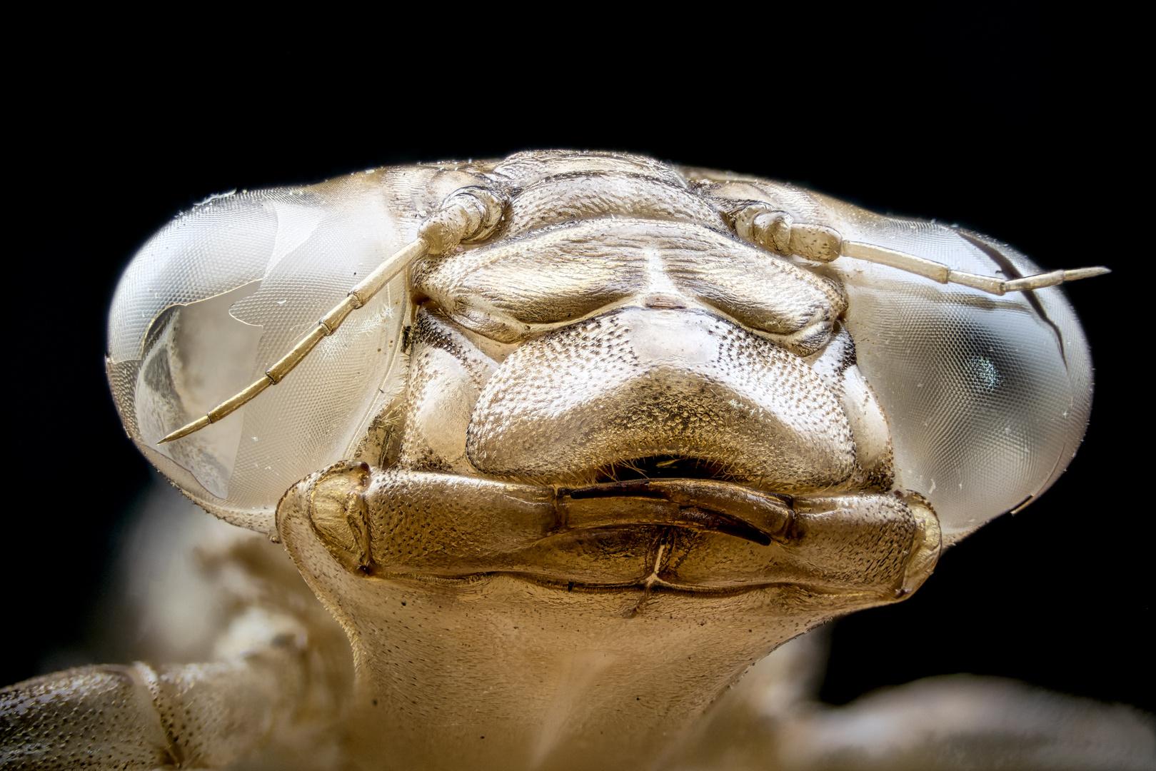 Libellenlarvenhaut