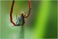 Libellenpaarung (frühe Adonislibelle) Bild 1