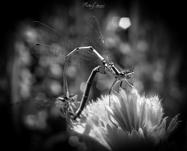 Libellenpaarung s-w edition #1