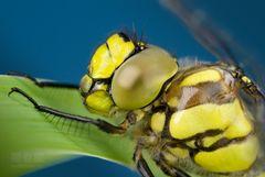 Libellenporträt