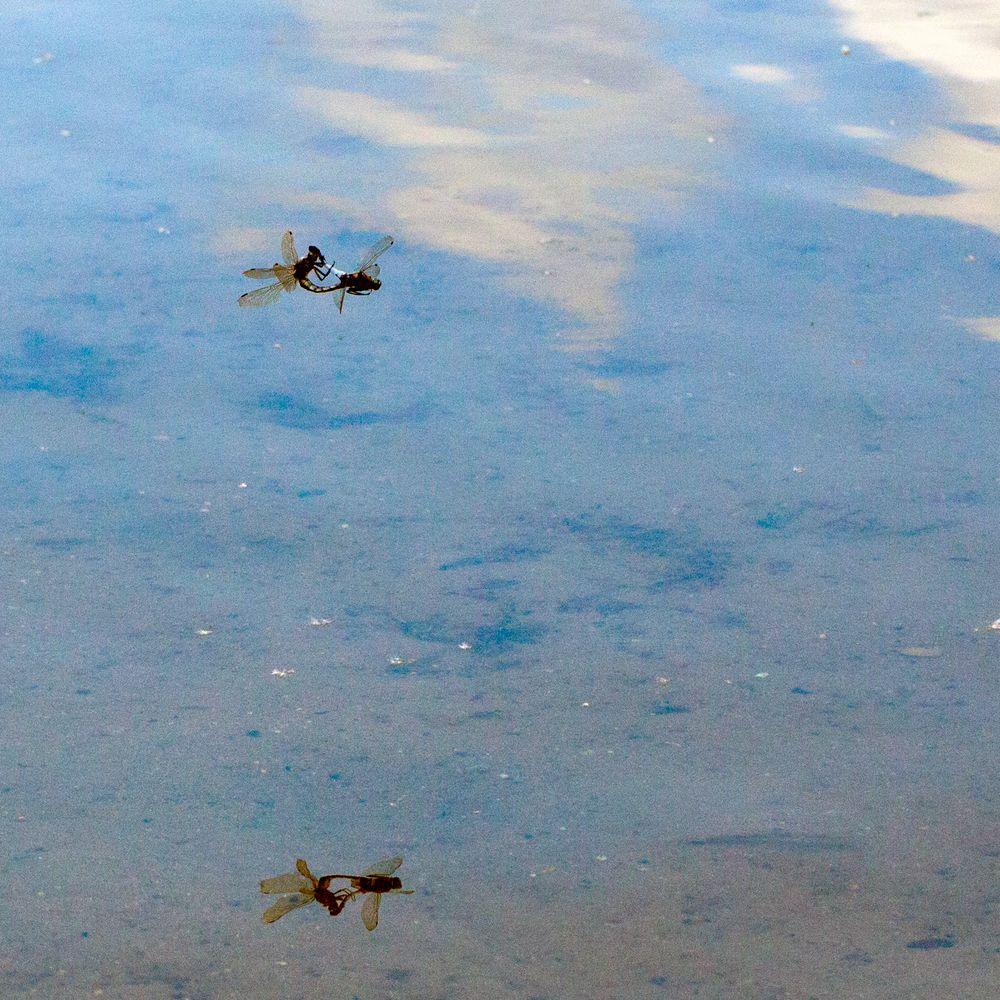 Libellenrad im Flug plus Reflexion