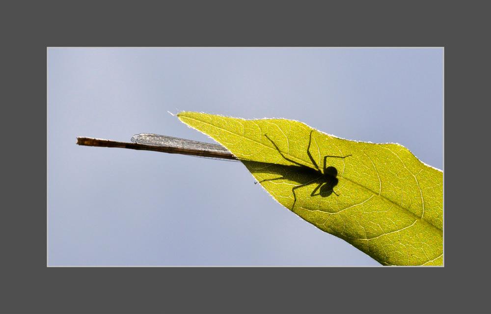 Libellenschatten