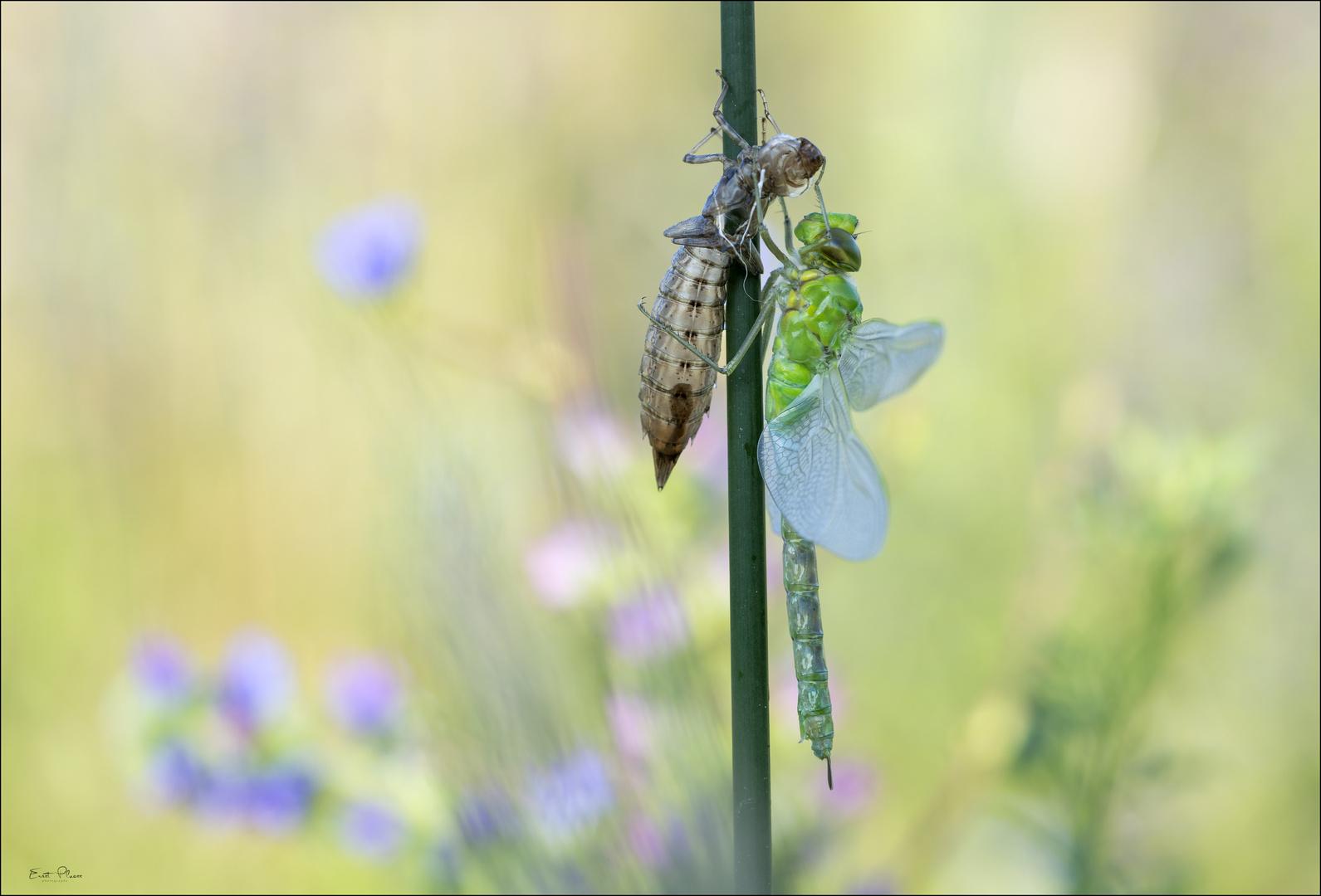 Libellenschlupf