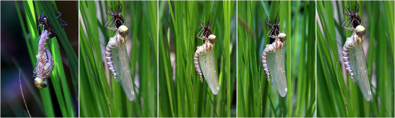 Libellenschlupf Teil 1
