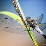 Libellenschönheit .... Spitzenfleck (Libellula fulva)
