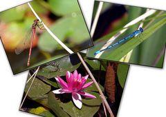 Libellen/Seerose