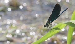 Libellensommer