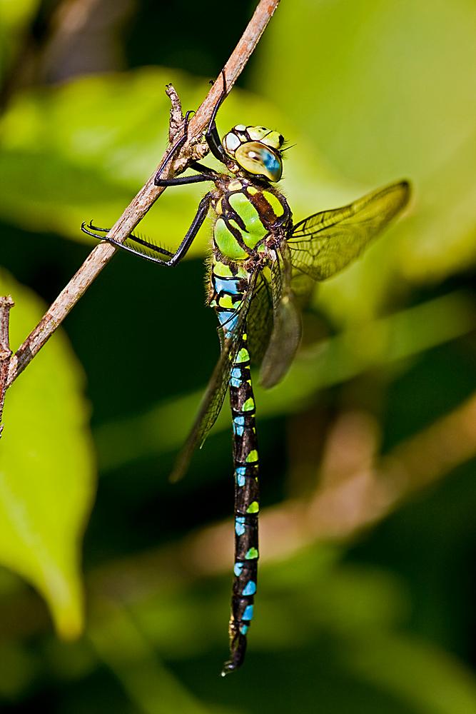 Libellenstandardfoto