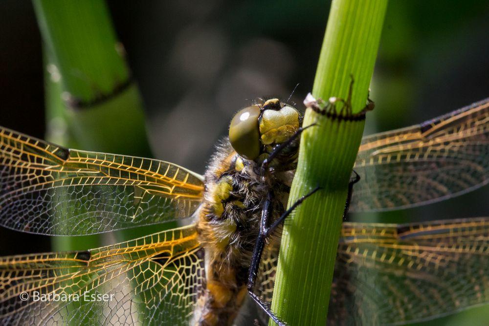 Libellenstudie