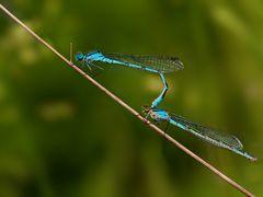 Libellenvor- oder Nachspiel