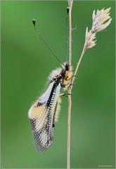 Libelloides coccajus MMXIV