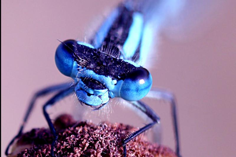 Libellula azzurra