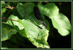Libellula (Calopteryx splendens)