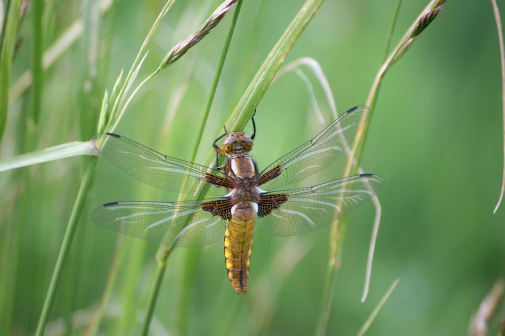 libellula depressa