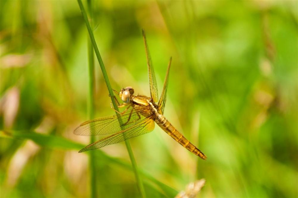 libellula dorata