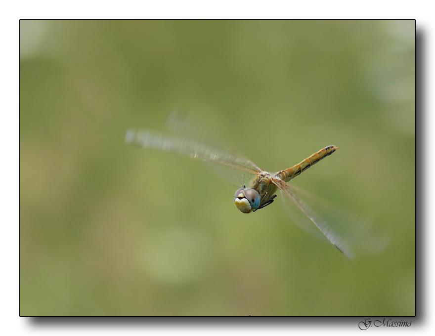 libellula in volo