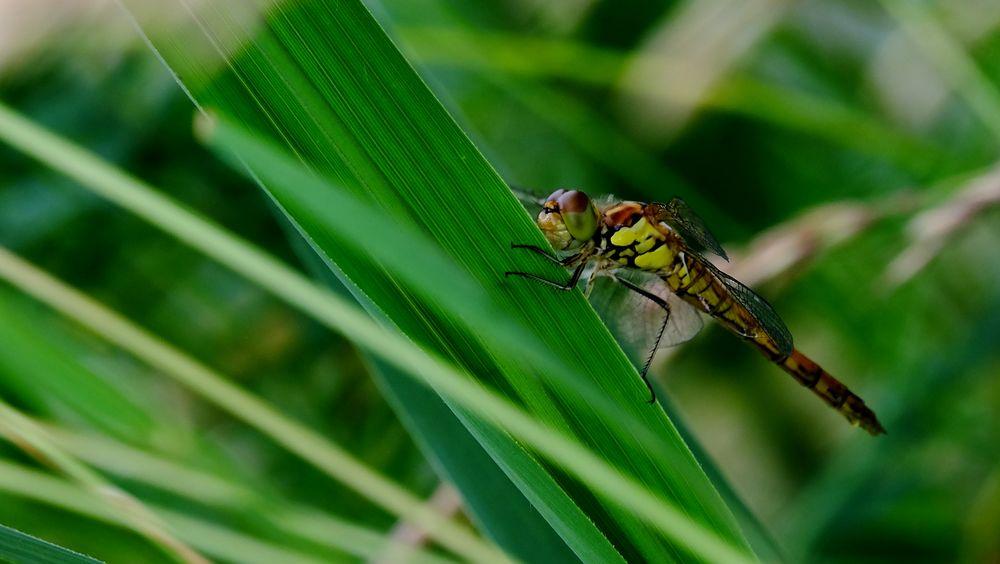 libellule au repos