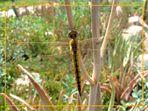 Libélula (Dragonfly) II