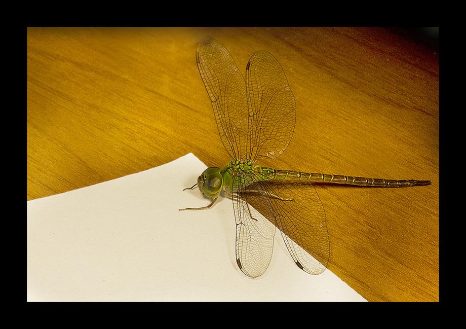 Libélula escribiendo carta Imagen & Foto | animales, invertebrados ...