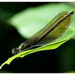 Libelula I (otra calopterys)