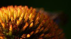 Licht und Schatten, Echinaceae