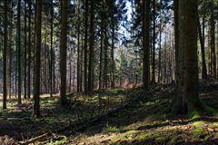Licht und Schatten im Fichtenwald