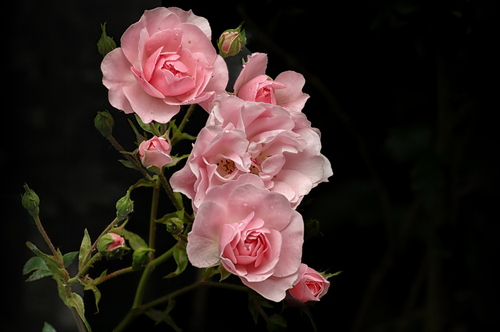 Licht und Schatten Pink Rose