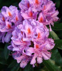 Lichtblick Rhododendron