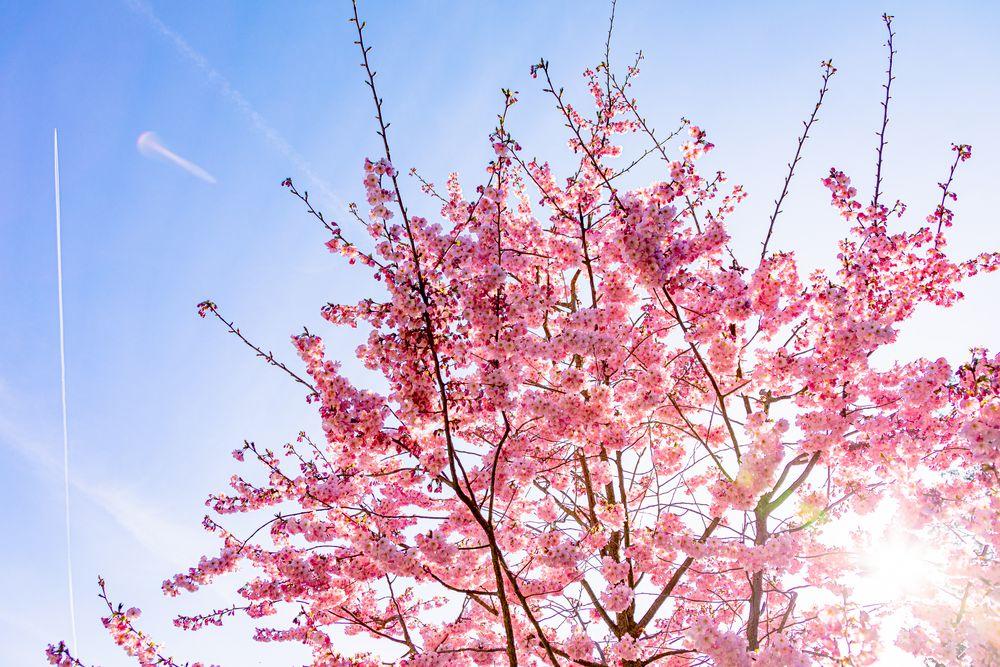 Lichtdurchflutete Kirschblüte