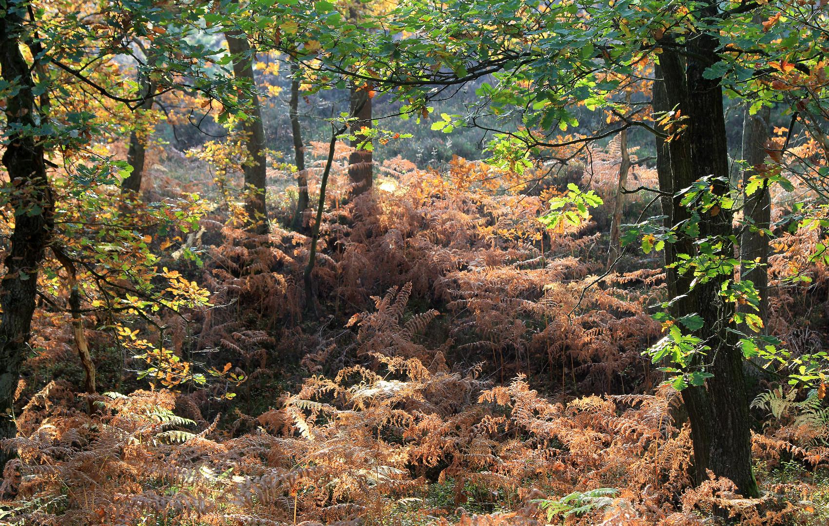 Lichtflut im Eichenwald im Herbst...