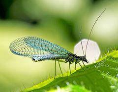 Lichtliebende Florfliege (Chrysopa perla)!