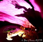 Licht/Schatten-Spiel Winzling in Hibiskusblüte