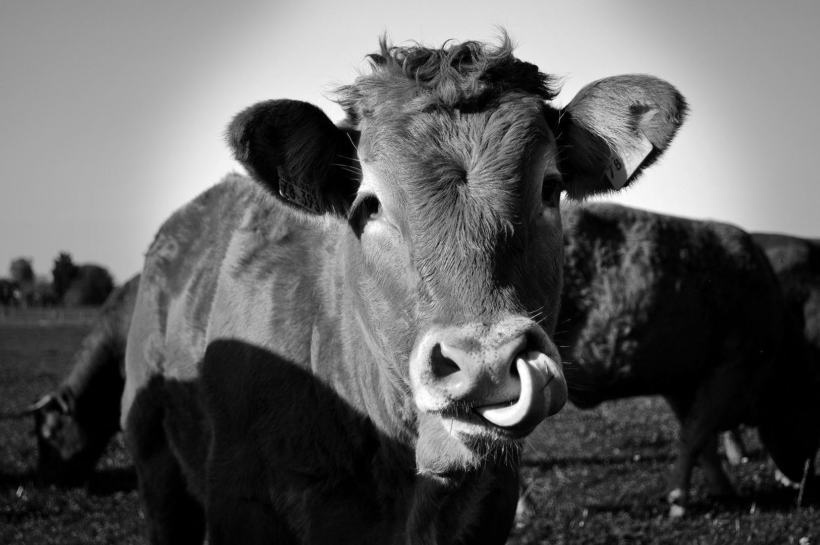 Liebe Kuh :-)